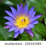 Single Violet Lotus And Little...