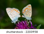 Butterfly Mating On A Flower