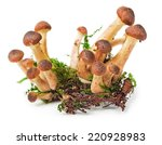 Armillaria  Honey Fungus  Hone...