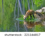 red fox drinking from a clear... | Shutterstock . vector #221166817