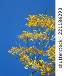 Small photo of Yellow flowers of Golden wattle. Acacia pycnantha