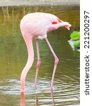 Bird Flamingo Walking In The...