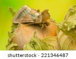 diachrysia chrysitis | Shutterstock . vector #221346487