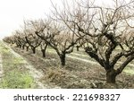 Peach Tree Orchard In A...