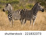 Постер, плакат: Two zebra looking in