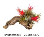 Tillandsia Plant On Death Wood...