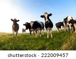 Cows On Pasture Over Blue Sky...