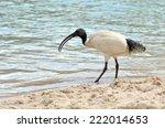 Australian White Ibis...