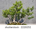 Small photo of American Barberry Bonsai Tree