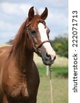 Small photo of Beautiful chestnut warmblood with bridle standing on green field