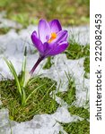 Crocus In The Meadow With...