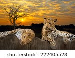 Two leopard sitting and lying on the stones at the backdrop of the sky at sunset.