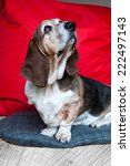 Small photo of Basset Hound looking aloof!