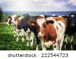 herd of young calves looking at ...