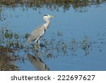 a grey heron on the edge of a... | Shutterstock . vector #222697627