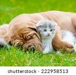 Stock photo closeup sleeping bordeaux puppy dog hugs newborn kitten on green grass 222958513