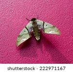 tropical moth  callambulyx... | Shutterstock . vector #222971167