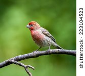 male house finch perched on a...   Shutterstock . vector #223104523
