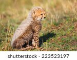 Seven Weeks Old Cheetah Cub In...