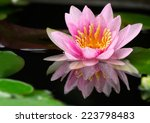 This Beautiful Pink Waterlily...