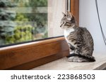 Stock photo small grey pet kitten starring out apartment window 223868503
