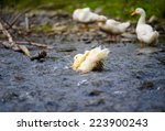 ducks floats on water | Shutterstock . vector #223900243