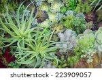 Miniature Succulent Plants ...