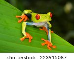 Red Eyed Tree Frog Or...