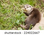 Known As Asian Otters Or...