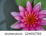 Close Up Pink Water Lily In...
