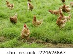 A Group Of Free Range Chickens...