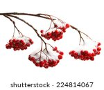 Rowanberry Twig  In Snow On...