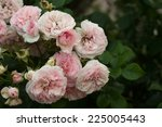 Bush Of Pink Roses In The...