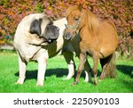 English Mastiff And Mini Horse