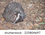 A Small South African Hedgehog...