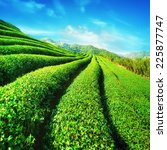 Постер, плакат: Tea plantation landscape under
