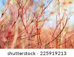 Dogwood Bush With Red Branches