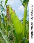 zea mays linn.   sweet corn in... | Shutterstock . vector #226052017