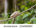 Small photo of Amber Chameleon - Rare Madagascar Endemic Reptile