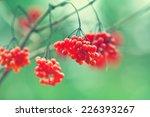 Cluster Of Viburnum On Natural...