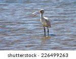 A Colour Ringed Spoonbill  Lud...