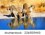 2 Lionesses Drinking From...