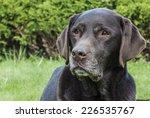Portrait Of Labrador Retriever...