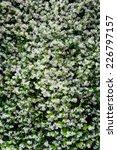 Jasmine Flower Background