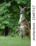A Gray Kangaroo Stands Along...