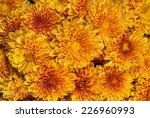 Blooming Orange Yellow Mums Or...