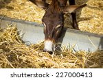Curious Donkey Eating Hay In A...