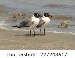 Pair Of Laughing Gulls  Larus...