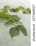 Small photo of American Elm tree branch over water surface
