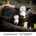 Mother And Calf Livestock...